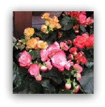 Rieger Begonia Blooming Plant