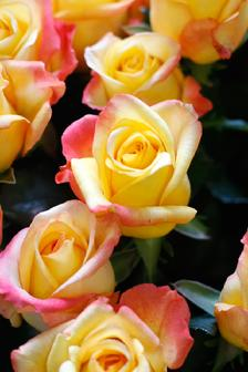 two tone yellow and pink rose