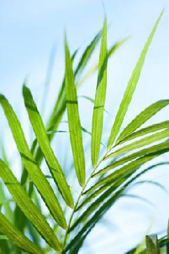 palm sunday palm fronds